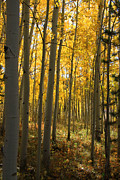 Yellow Trees Framed Prints - Sunshine Grove Framed Print by Dana Kern