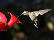 Hummingbird In Flight Posters - Sunshine on Hummingbird Poster by Carol Groenen