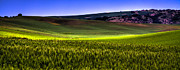 Beards Prints - Sunshine on the Palouse Print by David Patterson