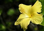 Sabrina L Ryan - Sunshine Yellow Hibiscus