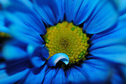 Flower Digital Art - Super Close Blue Daisy by Cindy Boyd