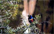 Africa Pastels Prints - Superb Starling Print by Carol McCarty