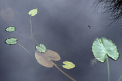 Strider Prints - Surface Of A Lily Pond In Alaska Print by Stephen Sharnoff