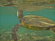 Green Sea Turtle Photos - Surfacing SeaTurtle by Michael Peychich