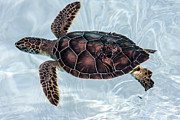 Baby Sea Turtle Framed Prints - Surfin Sea Turtle Framed Print by Scotts Scapes