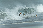 Penguins Photos - Surfing Gentoos by Mark H Roberts
