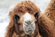 Camel Photos - Surprised Camel by Scott Hovind