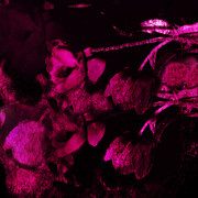 Dark Pink Photos - Surreal Abstract Dark Rose Impressionistic Tulips by Kathy Fornal