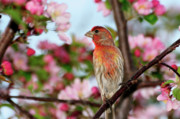 House Finch Posters - Surrounded Poster by Betty LaRue