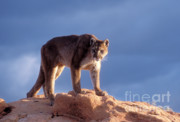 Mountain Lion Framed Prints - Surveying the Territory Framed Print by Sandra Bronstein