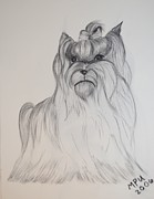 Yorkie Drawings - Susies Yorkie by Maria Urso - Artist and Photographer