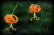 Juan Photos - Suspended Lilies In Us by Maureen P Sullivan