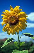 Sussex Prints - Sussex County Sunflower Print by Laurie Paci