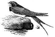 Bewick Metal Prints - SWALLOW, c1800 Metal Print by Granger