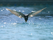 Swallow Photo Metal Prints - Swallow drinks from pool Metal Print by Bryan Allen