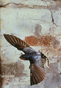 Swallow In Flight Print by Andy Harmer