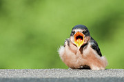 Swallow Photos - Swallow, Open Beak by Todd Holbrook, Dream Theory Studios