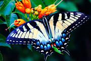 Barry Jones - Swallow Tail Butterfly
