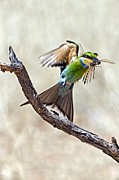 Bee In Flight Posters - Swallow-tailed Bee-eater Poster by Tony Camacho