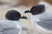Two Tailed Photo Prints - Swallow-tailed Gull Pair Print by Brendan van Son