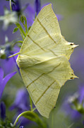 Bellflower Prints - Swallow-tailed Moth Print by Dr Keith Wheeler