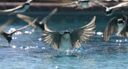 Flocks Photo Posters - Swallows drink from pool Poster by Bryan Allen