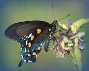 Judy Hall-Folde - Swallowtail 1