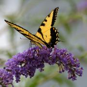 Swallowtail Photos - Swallowtail 2 by Edward Sobuta