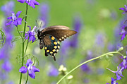 Spicebush Swallowtail Posters - Swallowtail And Delphiniums Poster by Byron Varvarigos