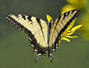 Rodney Campbell - Swallowtail and Friend