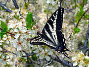 Plum Blossoms Prints - Swallowtail and Plum Blossoms Print by Karon Melillo DeVega