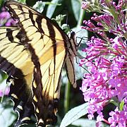Anna Villarreal Garbis Photo Metal Prints - Swallowtail Metal Print by Anna Villarreal Garbis