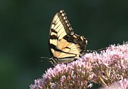 Pink Flowers Pyrography - Swallowtail Beauty by Valia Bradshaw