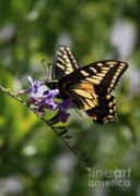 Swallowtail Photos - Swallowtail Butterfly 1 by Carol Groenen