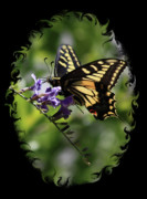 Insect On Flower Art - Swallowtail Butterfly 1 with Swirly Frame by Carol Groenen