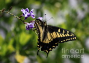Swallowtail Photos - Swallowtail Butterfly 2 by Carol Groenen