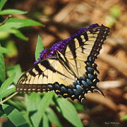 Flutter Art - Swallowtail Butterfly 2 by Sue Melvin