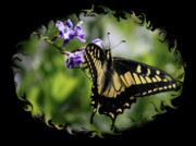 Swallowtail Photos - Swallowtail Butterfly 2 with Swirly Framing by Carol Groenen