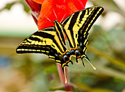Papilionidae Prints - Swallowtail butterfly Print by Chris Thaxter