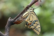Papilionidae Prints - Swallowtail Butterfly Emerging Print by Photostock-israel