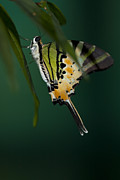 Hiding Prints - Swallowtail Butterfly hiding in the shadows Print by Zoe Ferrie