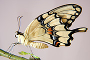 Swallowtail Butterfly Print by Julia Hiebaum