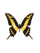 Papilio Thoas Framed Prints - Swallowtail Butterfly Framed Print by Lawrence Lawry