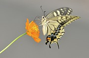 Swallowtail Posters - Swallowtail Butterfly On Cosmos Flower Poster by Etiopix