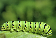 Munching Framed Prints - Swallowtail Caterpillar Framed Print by Kristin Elmquist