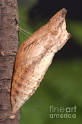 Pupa Prints - Swallowtail Chrysalis Print by Ted Kinsman