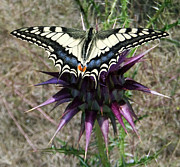 Artist Pyrography - Swallowtail by Eric Kempson