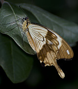 Swallowtail Photos - Swallowtail by Heather Applegate