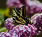 Swallowtail On Lilac 2 Print by Mitch Shindelbower