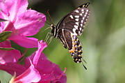 Travis Truelove Photography Posters - Swallowtail on Pink Poster by Travis Truelove